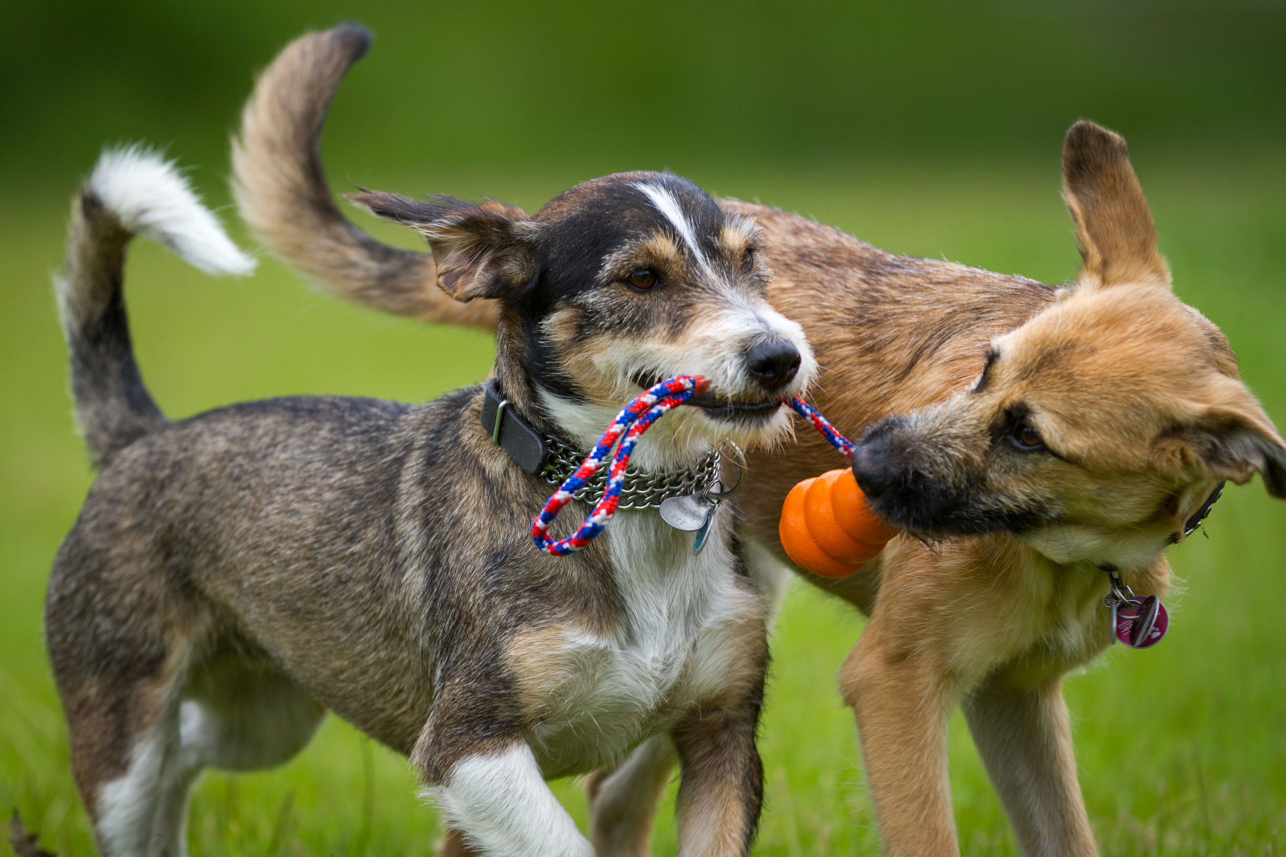 Two Dogs Playing in a Chicago Dog Park